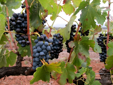 Bio-dynamically grown Shiraz from Macquariedale Vineyard