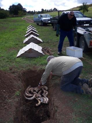 Burying Cowhorns at Paxton VIneyards (McLaren Vale)