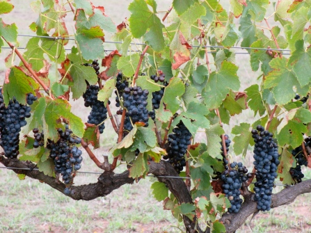 Biodynamic Shiraz at Macquariedale Wines (Hunter Valley)