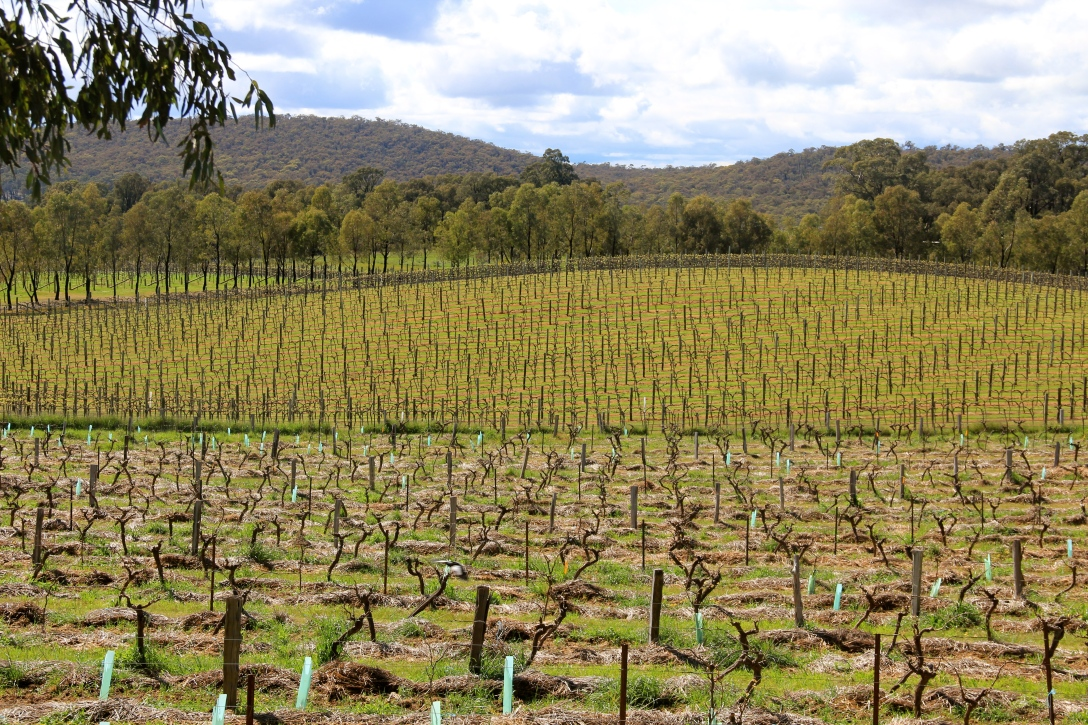 Jasper Hill Vineyards (conventional in the background) - photo by The Wine Idealist