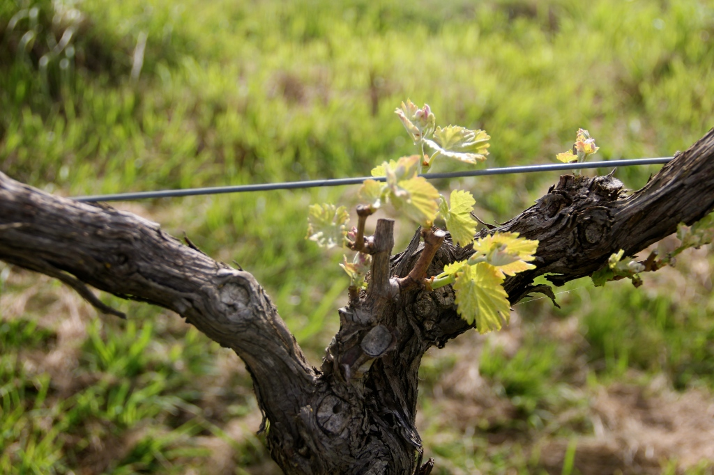 September Bud Burst / Lethbridge Vineyards - photo by The Wine Idealist