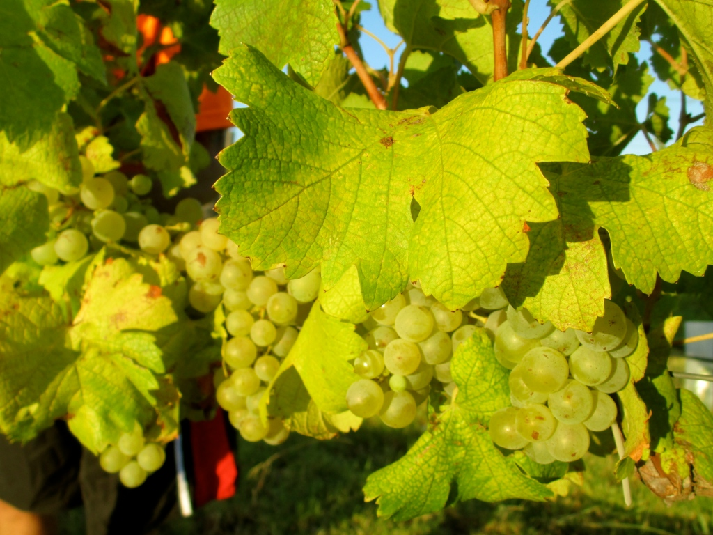Hunter (biodynamic) Semillon - photo by The Wine Idealist