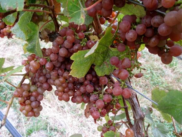 Huia - Gewürztraminer - photo by The Wine Idealist