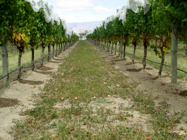 Te Whare Ra Vineyard cover crop - photo by The Wine Idealist