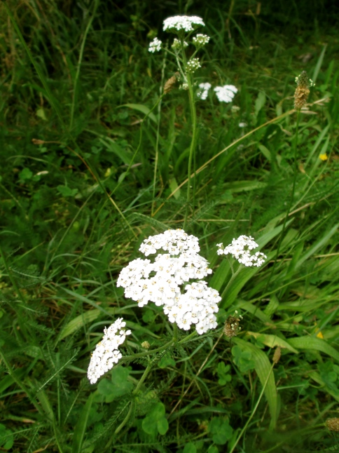 Yarrow between the vines at Seresin (NZ) - photo by The Wine Idealist