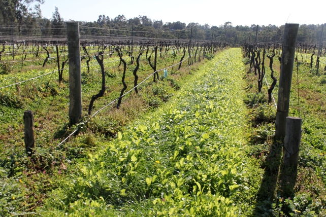 Companion planting (mustard) at Tamburlaine - photo by The Wine Idealist
