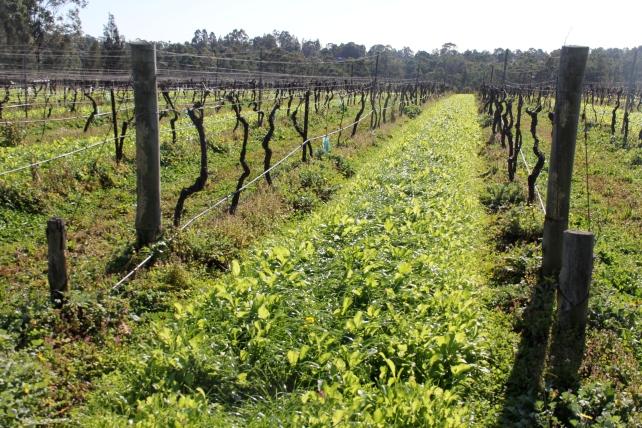 Companion planting (mustard) at Tamburlaine - photo by The Wine Idealist