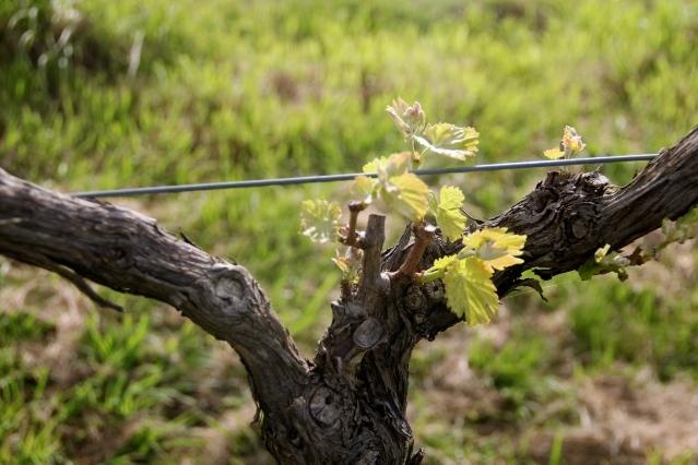 Lethbridge Biodynamic Vineyard, Geelong - photo by The Wine Idealist