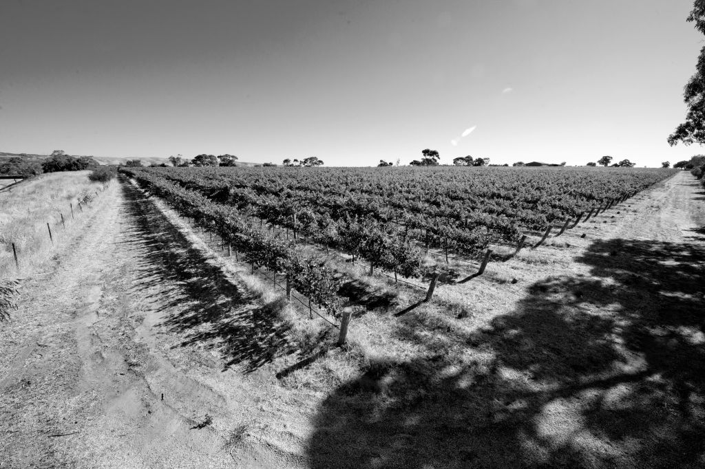 The Omensetter Vineyard - photo courtesy of Brash Higgins