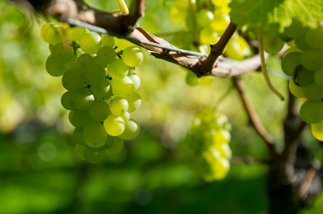 Chardonnay - photo courtesy of Dirk Meure