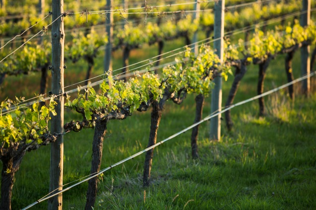 Vines From the Earth - photo courtesy of Yangarra Estate