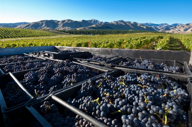 Churton Pinot Harvest - photo courtesy of Churton