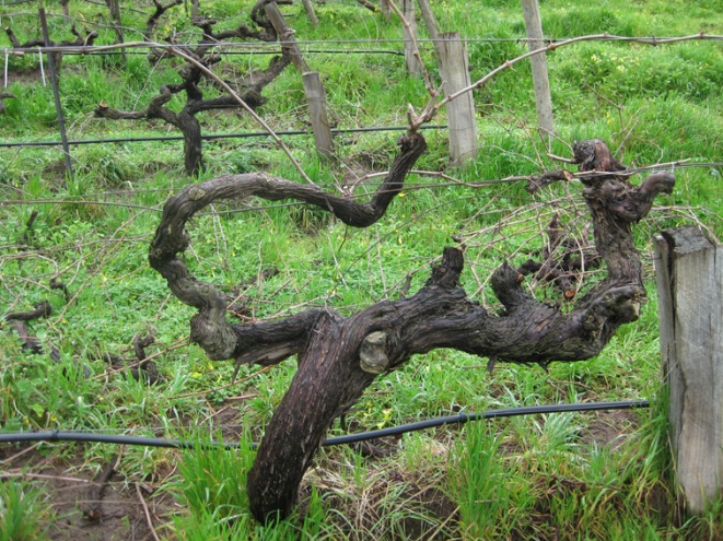 Angove Cane Pruned Shiraz - photo courtesy of Angove Wines