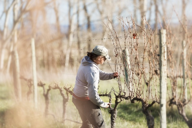 Miranda Brown Pruning Muddy Water Vineyard - photo courtesy of Muddy Water