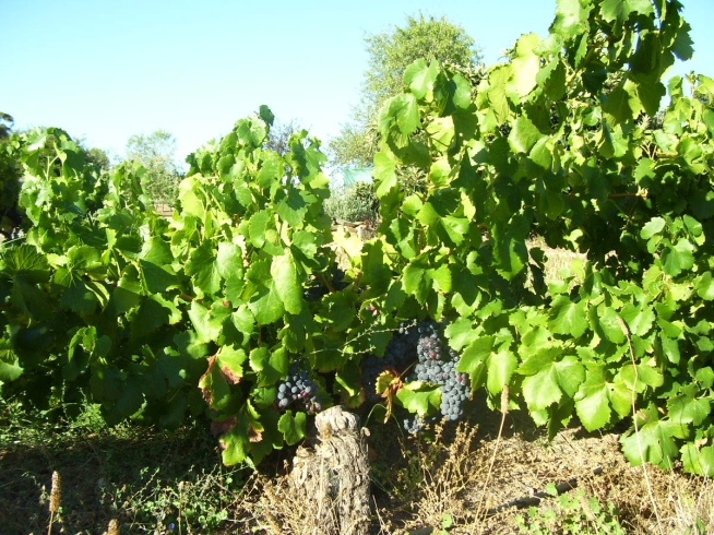 Old Bush Vine Grenache - photo courtesy of Mill About Vineyard