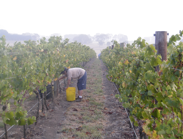 Harvest at Hochkirch - photo courtesy of Hochkirch Wines