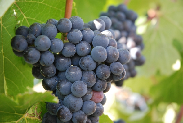Pinot Noir - photo courtesy of Philippa Shepherd