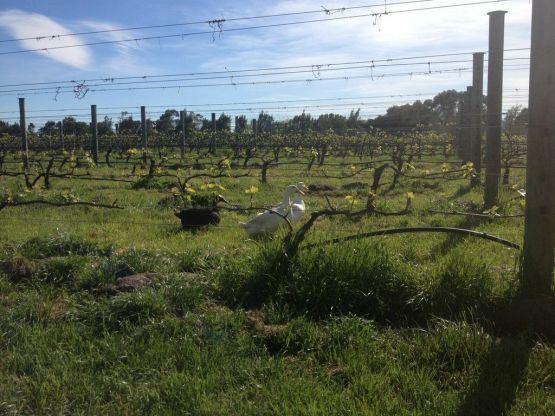 Cambridge Road vineyard - photo courtesy of Cambridge Road