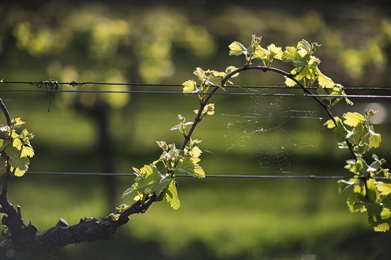 Budburst on Balnarring Vineyard - photo courtesy of Quealy