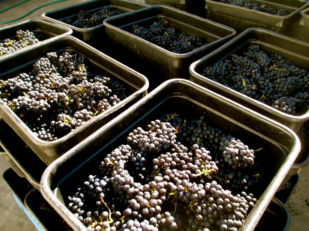 Pinot Harvest, 2014 - photo by The Wine Idealist