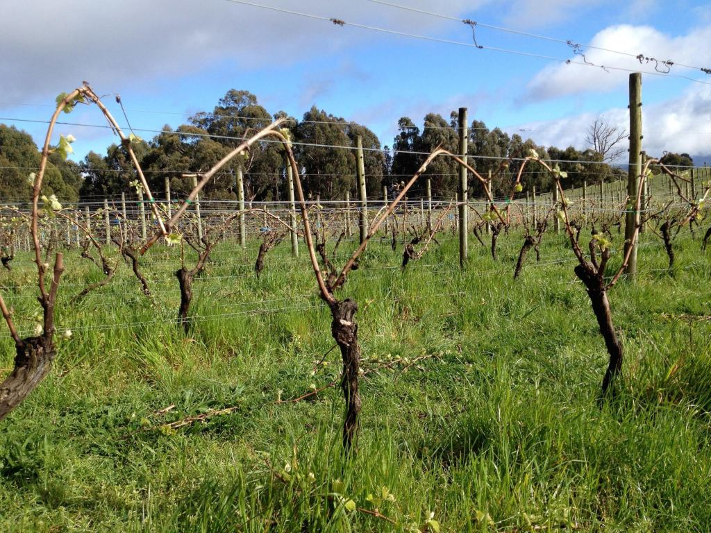 Pinot Noir Vines - photo courtesy of Moondarra Wines