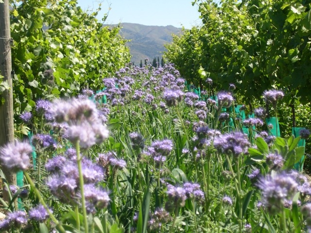 Peregrin Vineyard Cover Crop - photo courtesy of Peregrin