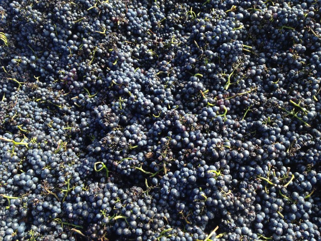 Pinot Noir - photo courtesy of Moondarra Wines