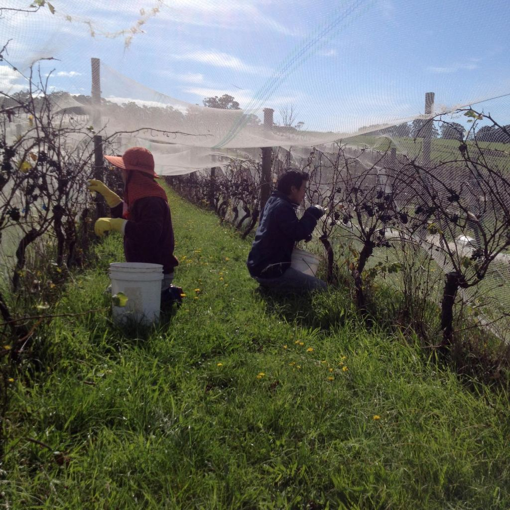 Pinot Harvest - photo courtesy of Moondarra Wines