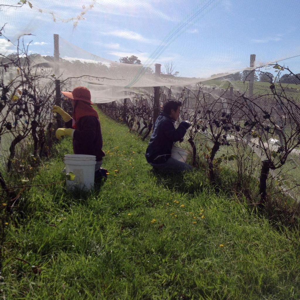 Pinot Harvest - photo courtesy of Moondarra Wines