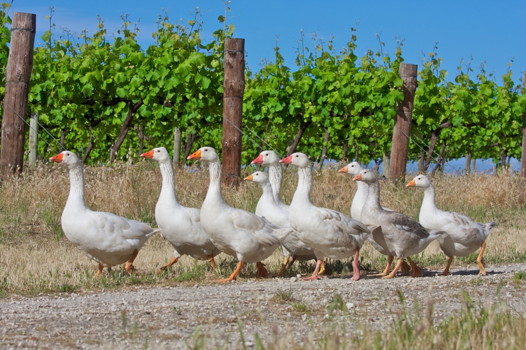 Geese Walk Amongst The Vines - photo courtesy of Cape Jaffa Wines