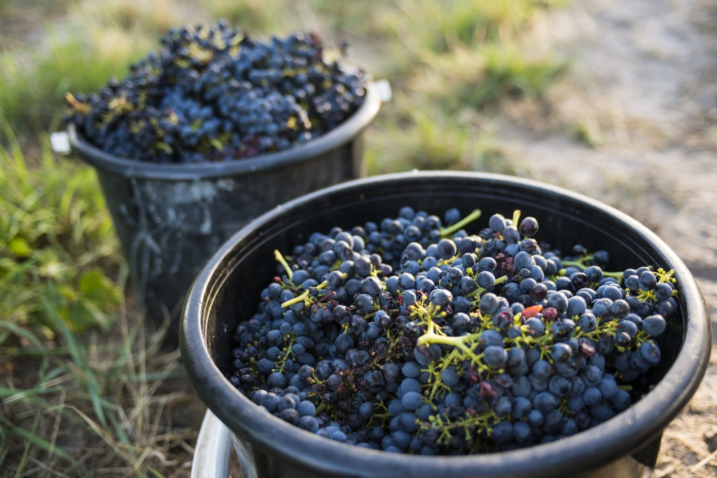 d'Arenberg Shiraz - photo courtesy of d'Arenberg