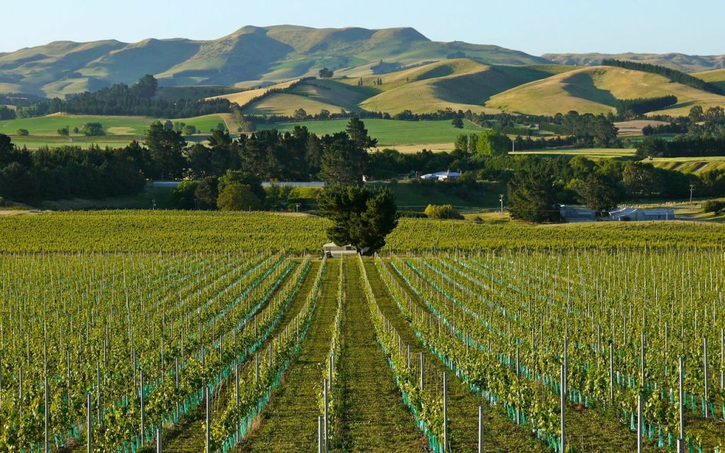 Home Vineyard - photo courtesy of Black Estate
