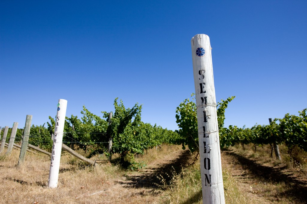 Cape Jaffa Vineyard Before Vintage - photo courtesy of Cape Jaffa Wines