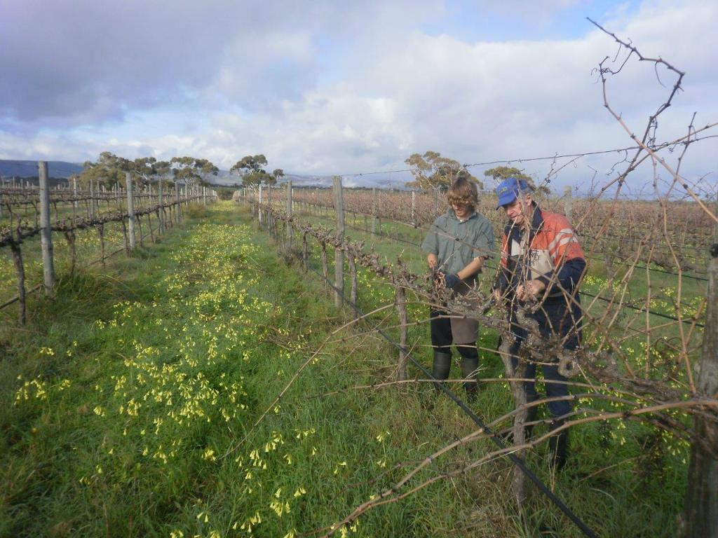 David's Dad and Son, Pete, pruning the vines - photo courtesy of Ivybrook Farm