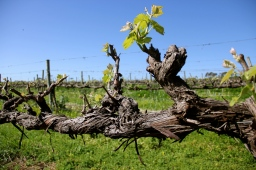 'My Kingdom For A Grape Vine!'… Battle of Bosworth, McLaren Vale