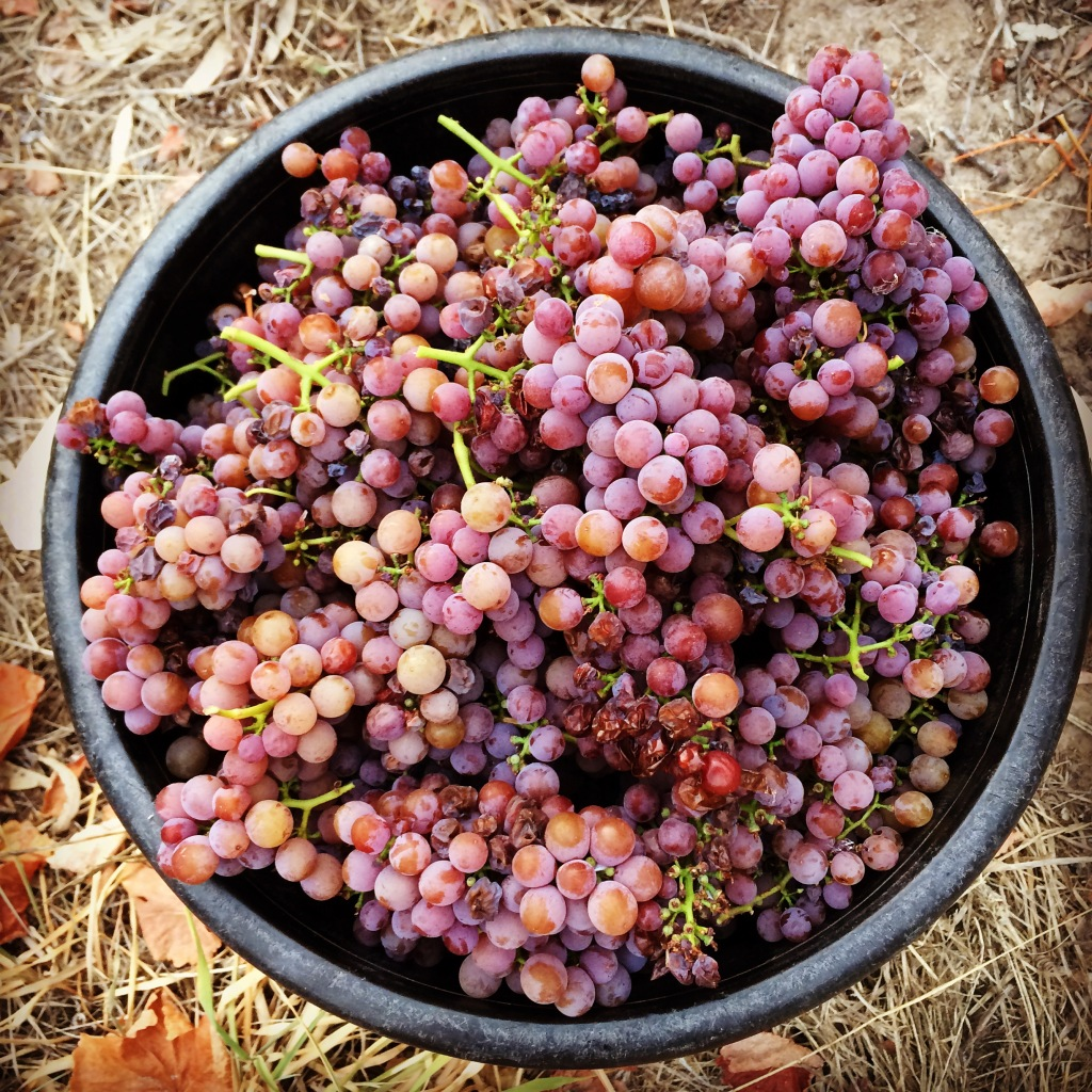 Gewurtztraminer fruit 2015